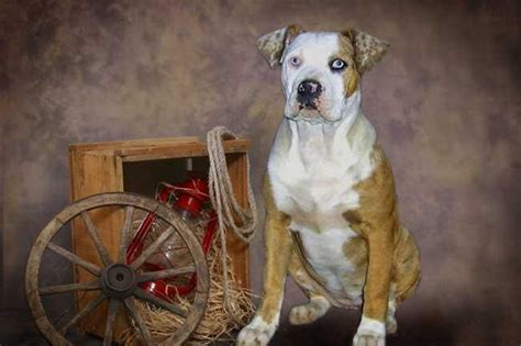 catahoula bulldogpictures  dogs    dog