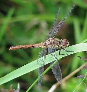 Dragonfly - Simple English Wikipedia, the free encyclopedia