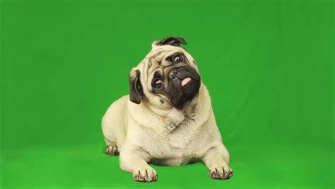 cute pug dog green screen stock footage video
