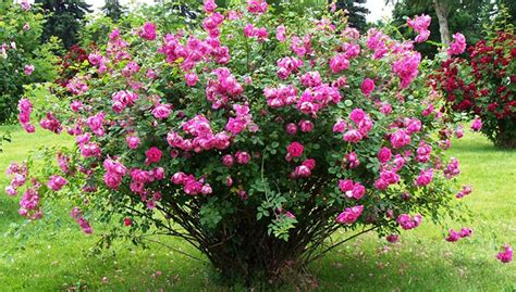 Mountain Gardening: Try These Hardy Roses in Your Garden