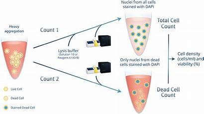 Aggregated Cell Nc Cells Nucleocounter Counting Counter