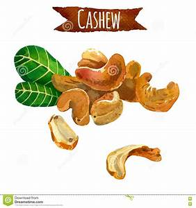 Cashew, Watercolor Illustration, Clipping Path Included ...