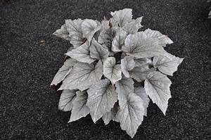 Begonia Rex Shadow King  U00ae  U2013 Green Fuse Botanicals Inc