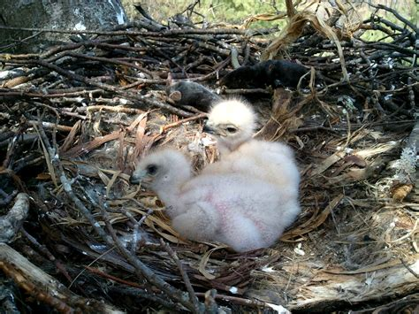 red tailed baby hawks saved by blue ridge crew high