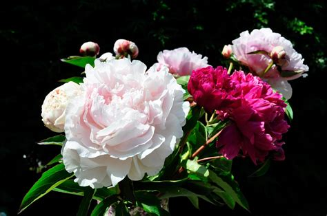 growing peony flowers how to grow peonies the garden of eaden