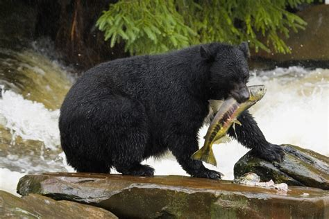 5 Surprising Facts About Black Bears  Mnn  Mother Nature