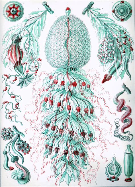 The Illustrations Ernst Haeckel Romantic Biologist