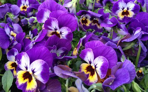 fiorivi sfiorivano le viole fiorivano le viole tra profumi canzoni e giardinaggio
