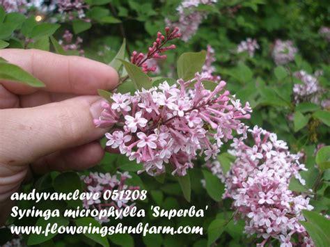 crop  syringa microphylla superba lilac