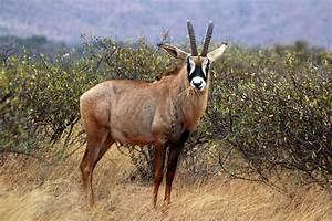 Afrikan Antilope : roan antelope wikipedia ~ A.2002-acura-tl-radio.info Haus und Dekorationen