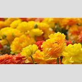 Marigold Flower Wallpaper | 1366 x 768 jpeg 554kB
