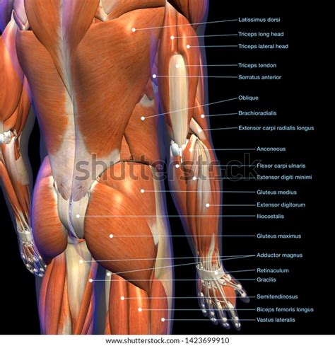These muscles, including the gluteus maximus and the hamstrings, extend the thigh at the hip in support of the body's weight and propulsion. Anatomical Name Of Lower Back Muscles : Lower Back Muscle ...