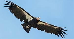 California Condor Life History  All About Birds  Cornell