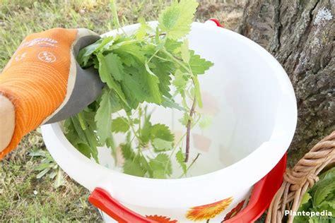 Stinging Nettles Make A Natural Fertilizer For Tomatoes