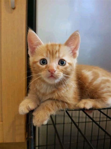2 Beautiful Ginger Tabby Kittens In Bognor Regis West