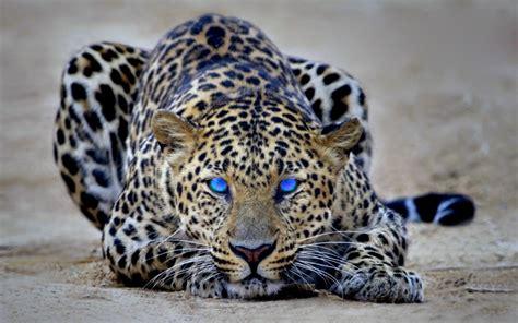 Hd Wallpapers Cheetah