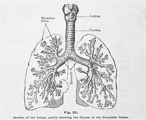Showing Lungs And Bronchial Tubes