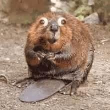beaver gif gif images