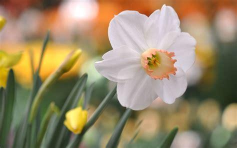 Flower Daffodil Glare Hd Desktop Wallpapers 4k Hd