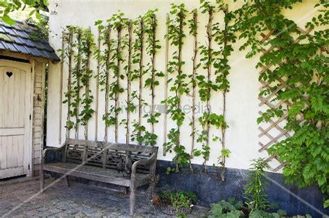 Rankhilfe Hauswand by Kletterpflanze Mit Rankhilfen Auf Weisser Hauswand Davor
