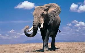 fondos de pantalla de elefantes wallpapers hd para