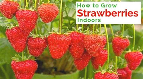 how to grow strawberries how to grow strawberries indoors home gardeners