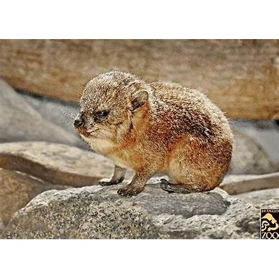 Baby Rock Hyrax 7-17-09Flickr - Photo Sharing!