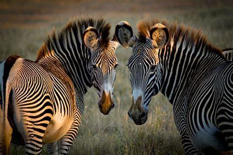 zebras    equivalent part   photo showing