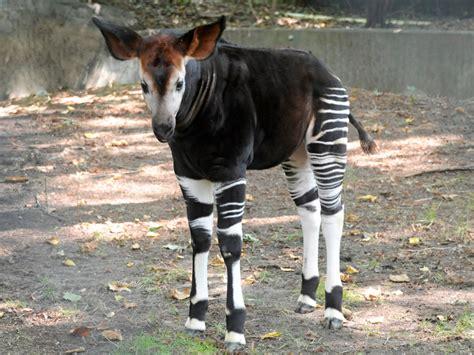 okapi zoo bronx breeding baby calf program giraffe looks okapis zebra animal horse animals mixed bura zebras wild giraffes cross