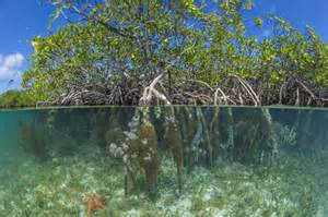 What the hell is a mangrove? A scientist explains   Metro News