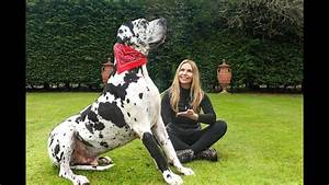 THE GREAT DANE - THE TALLEST DOG IN THE WORLD / Animal ...