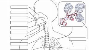 Respiratory System Printable Diagram Respiratory System