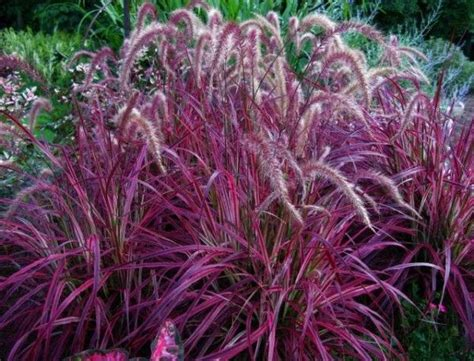 is purple grass a perennial or annual the 25 best ideas about red fountain grass on pinterest pennisetum setaceum drought tolerant