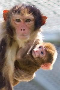 Rhesus Monkey And Newborn Infant  U2013 California National