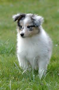 shetland sheepdog puppies puppy dog gallery