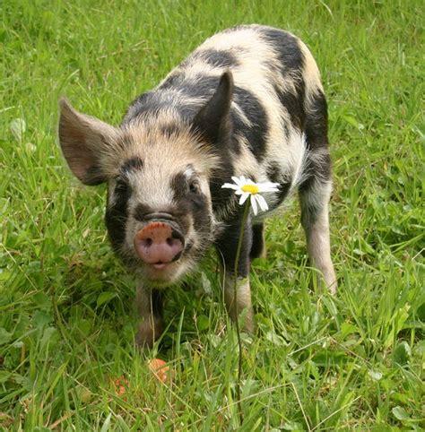kunekune pig kunekune pig creatures are amazing pinterest