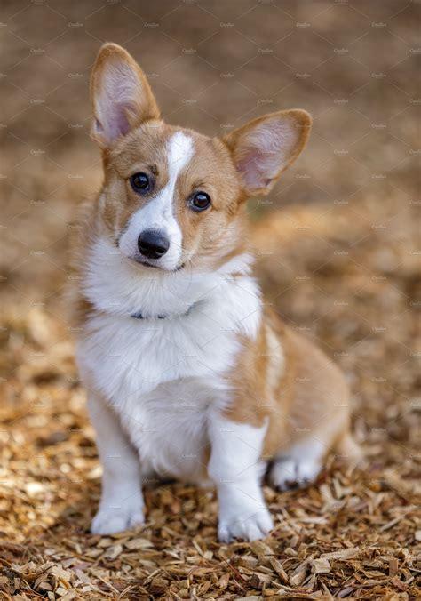 pembroke welsh corgi female puppy high quality animal