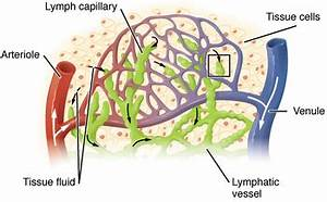 Lymphatic system - Wikipedia  Lymph