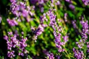 Wann Heidelbeeren Pflanzen : heidekraut pflanzen wann wohin und wie ~ Orissabook.com Haus und Dekorationen