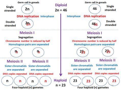 meiosis  diploid  haploid quora