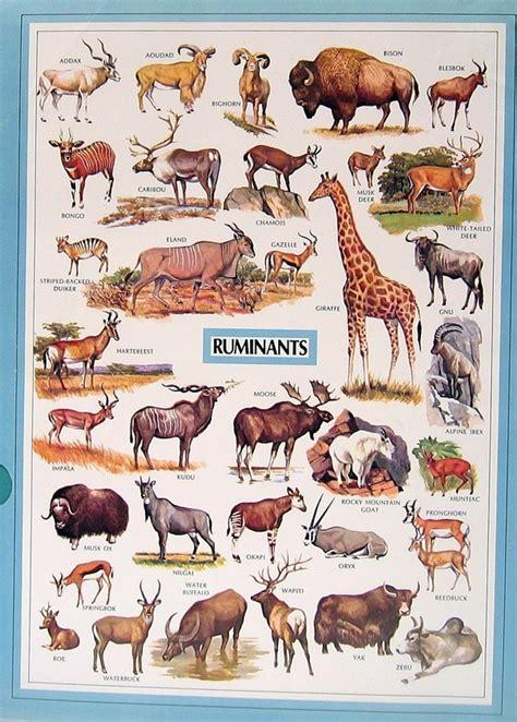animals ruminants herbivores examples ruminant non ungulates reptiles 1972 animal sided dictionary ruminate etsy items pigs african mysunshinevintage simple mammalian