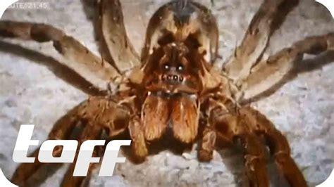 giftige spinnen aus dem supermarkt taff youtube