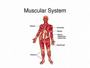 Diagram Of The Muscular System   Diagram Of The Muscular System Simple Diagram Of Muscles For