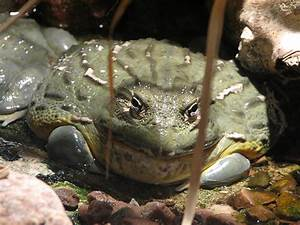 Giant African Bullfrog | Flickr - Photo Sharing!