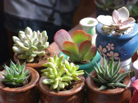 potting succulents indoors easy tips on how to grow succulents world of succulents
