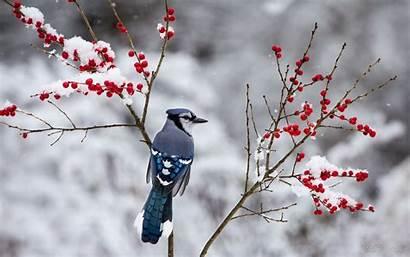 Winter Birds Bird Snow Berries Branch Jay