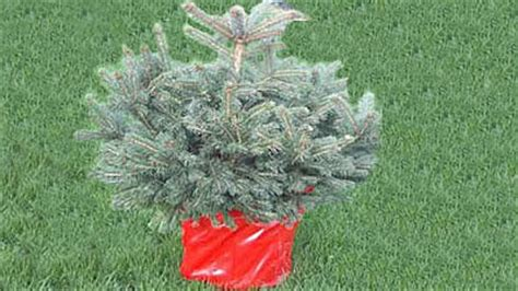 can you replant a christmas tree the garden of eaden