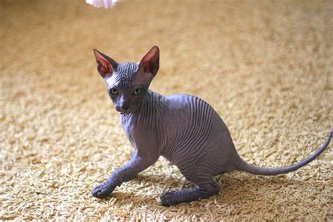 Ideas To Pick Best Names For Sphynx Cats