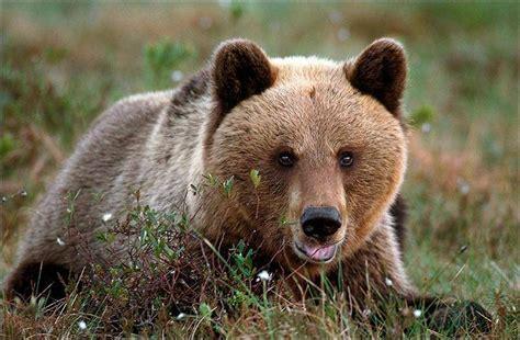 Медведь 83 фото крупнейшего сухопутного хищника планеты