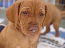 puppies and stud dogs hungarian vizsla society